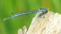 White-legged Damselfly (click to enlarge)